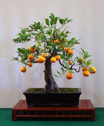 Bonsai fruit trees are especially difficult. They require many years of tender care to fruit like this one.