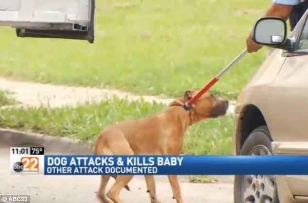 """A """"pleasant"""" family pit bull being hauled off by Animal Control after killing 7-month-old Jonathon Quarles, Jr. It had previously attacked Isabelle Crickmore as she walked her dog, a Beagle named Reba. The hearing on the dog attack had been scheduled, but the pit, allowed to stay in the owner's home, killed the child first. It had also attacked a mailman in April. (July 2014, OH) http://www.dailymail.co.uk/news/article-2699703/Dog-attacks-kills-7-month-old-baby-Ohio.html"""