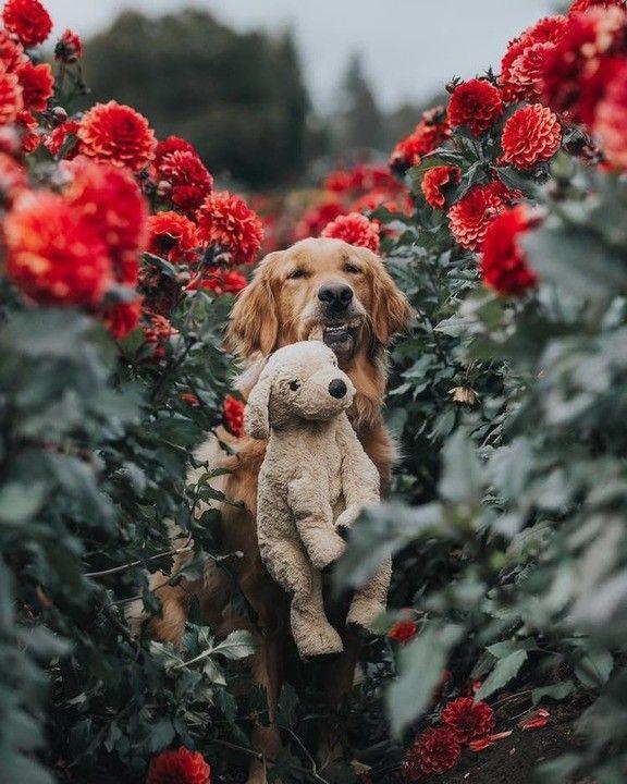 Gumbo The Golden Retriever W Toy In Garden Cute Animals Animals