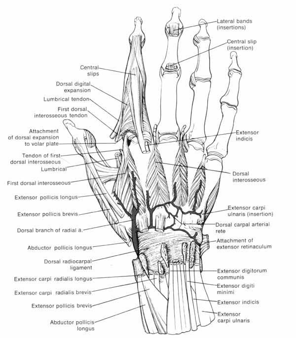 7 best hand anatomy images on Pinterest   Hand anatomy, Drawing ...
