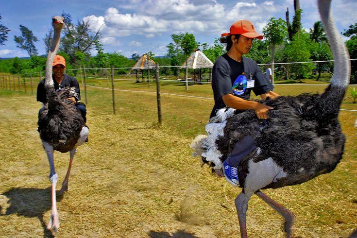 Menunggangi dan balapan Burung Unta #BebasLiburan