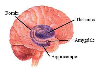 hippocampe cerveau