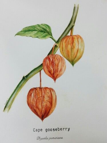 Cape gooseberry botanical illustration