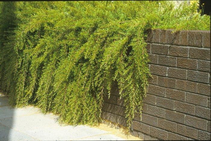 Grevillia obtusifolia