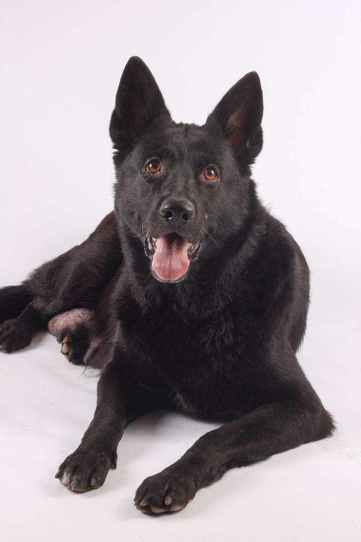 25  best ideas about black german shepherd puppies on pinterest