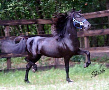 Hackney | Konie Koniki Konisie: rasy koni; Hackney