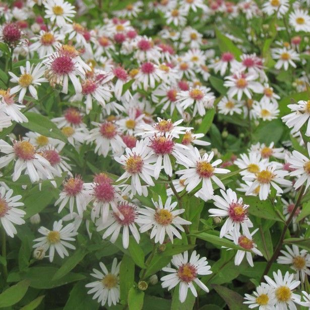 Aster lateriflorus Chloe - Aster d'automne