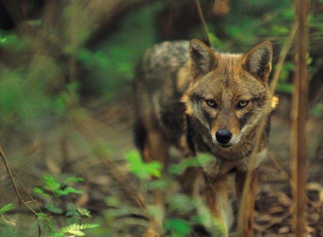 In beeld: wolven in het wild - KnackWeekend.be //- © Thinkstock De rode wolf staat op de lijst van 'critically endangered animals' en was in 1980 zelfs volledig verdwenen uit het wild. De rode wolf zit genetisch tussen de grijze wolf en coyote in. Vroeger leefde deze wolf in het hele zuidoosten van de VS, nu alleen nog op een paar plaatsen waar de dieren geherintroduceerd zijn in het wild. Volgens de schattingen komen er nu ongeveer 70 rode wolven in het wild voor.