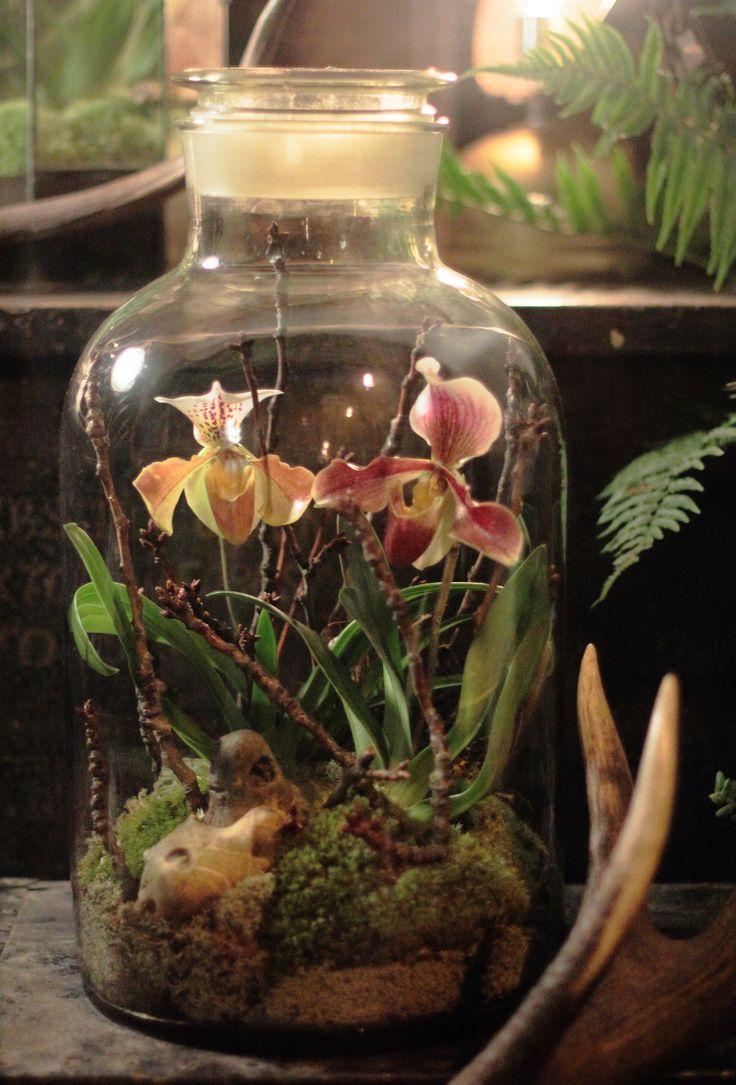 Terrário orquídea Lovely !!! Bebe '!!! Terrário bonita com as orquídeas !!! …