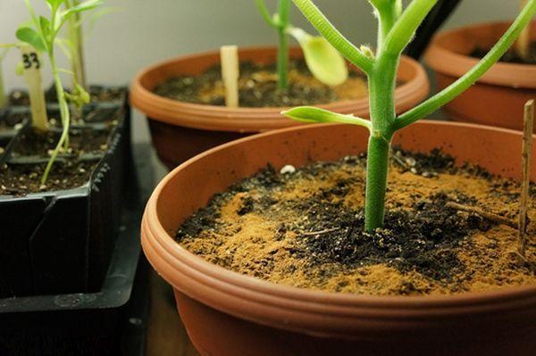 Знаете ли вы, что простая ложка корицы может спасти комнатное растение от гибели. Она положила ложку корицы в садовый горшок! Результат превзошел все ожидания. Обязательно сделаю так же. Мало кто знает, что корица — отличное удобрение и стимулятор роста многих растений. Если ты подрезаешь корни растения при пересадке, слегка присыпь их ароматной специей. Она обладает …