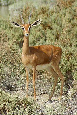 Обыкновенная газель (Gazella gazella) — вид газелей семейства полорогих, обитающий в Аравии, Израиле и Ливане. В настоящее время обыкновенная газель обитает преимущественно в Израиле, Саудовской Аравии, Омане, в Объединённых Арабских Эмиратах и Йемене[4].  Вид держится преимущественно в полупустынях и пустынях, изредка посещая открытые леса.  Характерным признаком вида являются две вертикальные белые полосы на морде, проходящие от рогов через глаза к области носа