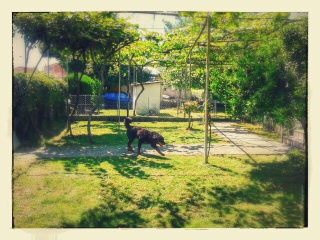 Artur #rottweiler #rottie