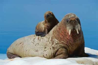 a mother walrus gives her baby a lift