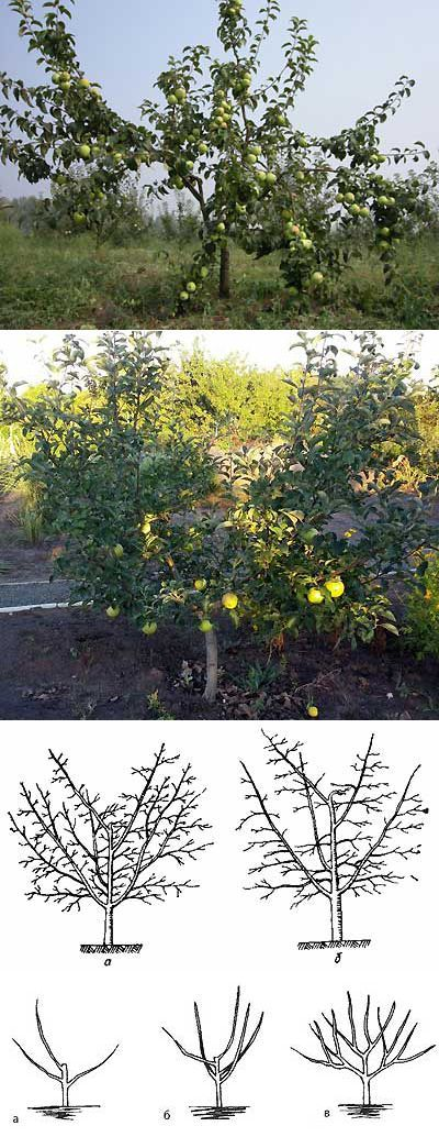 Зачем необходимо формирование кроны яблони   Мое подворье   сад   Постила