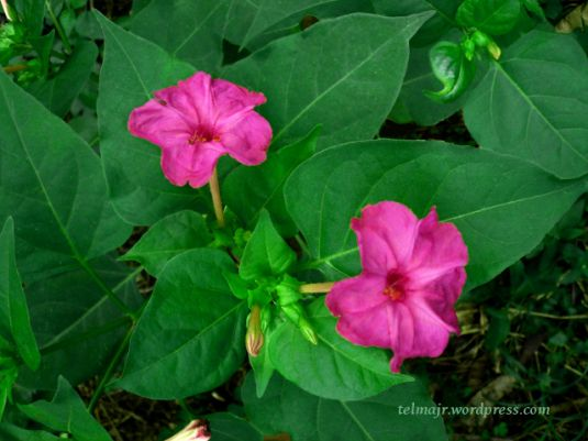 1000 images about plantas propiedades medicinales on for Planta decorativa propiedades medicinales