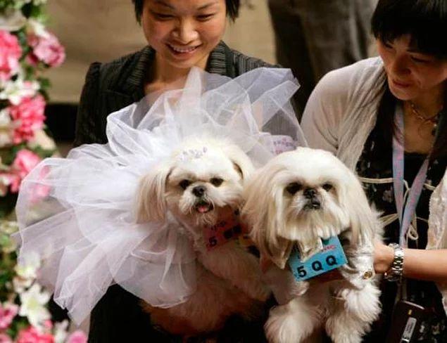 2007 yılında Hong Kong'da Sevgililer Günü için yapılan etkinlikle dünya evine giren iki şirin köpek.