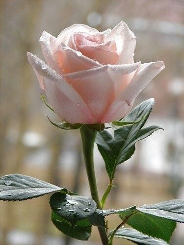 best images about roses, gardenias, magnolias on, Beautiful flower