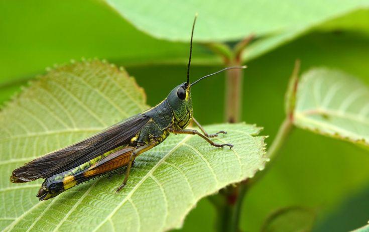 https://flic.kr/p/2394k5G | DSC02803 | grasshopper - Phongsali - Laos