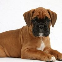 #dogalize Boxer cachorro: caracteristicas y personalidad #dogs #cats #pets