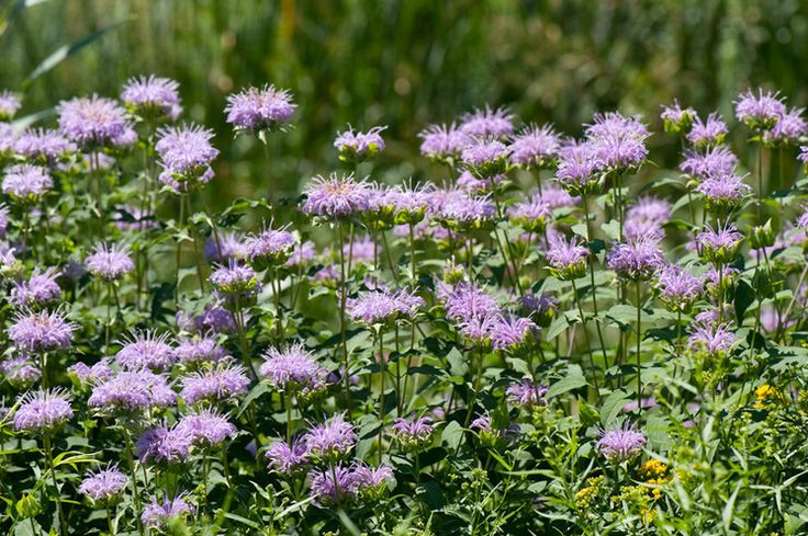 17 Best images about Monarda on Pinterest | The plant ...