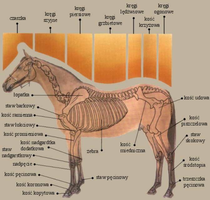 Anatomia Konia | Konioblog - jeden oddech - jedno bicie - jazda konna - całe życie