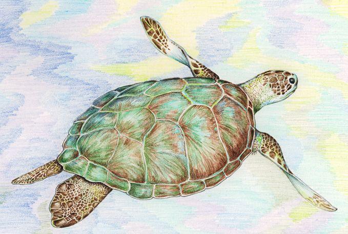 Sea turtle (color pencil)