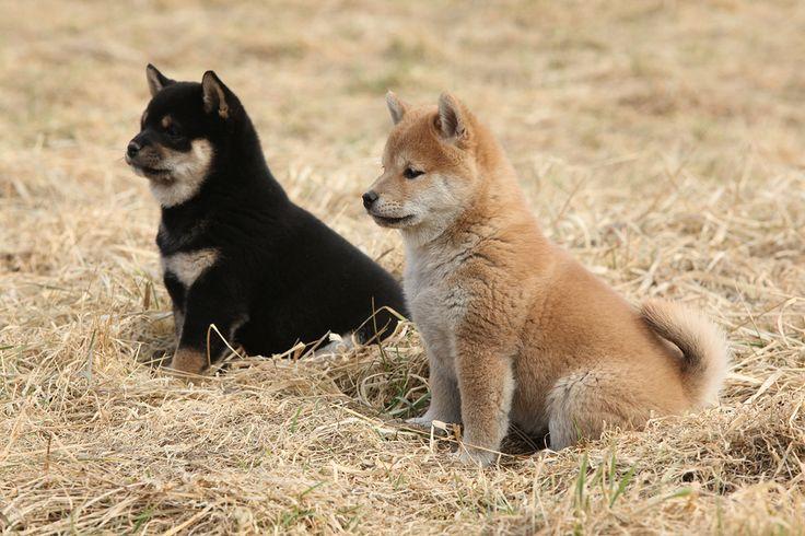 Shiba Inu puppy <3, Good Owners, Great Shiba Inu