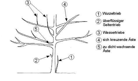 Baumschnitt, Gehölzschnitt. Tabelle wann man welchen Strauch, Baum oder Beeren am besten schneidet.