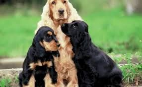 Image result for cocker spaniel rescue