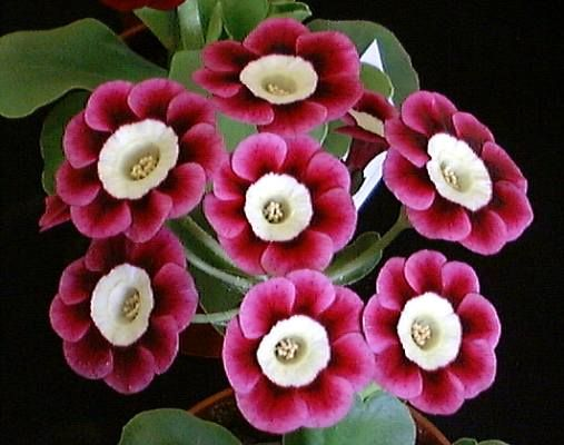 Light centered Alpine Auricula 'Dill' - Shown by John Radford; Photographed by Henry Pugh; Bred by Keith Leeming in 1996.