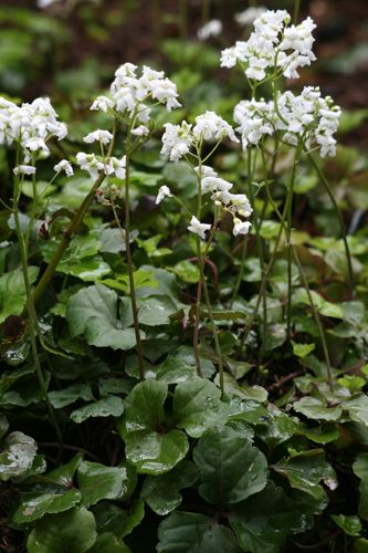 Cardamine trifolia - I fear I have been greatly overestimating the amount of sun this new bed gets. So this evergreen groundcover for shade may be just the thing. Spikes of white flowers in spring.