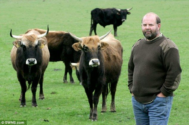Farmer Gow with His Heck cattle.