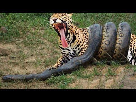 Anaconda Gigante VS Onça Pintada - Píton VS Leopardo - LUTA INCRÍVEL - YouTube