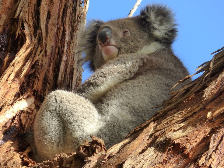Mother Koala had a baby well hidden in her pouch...Dec 2014