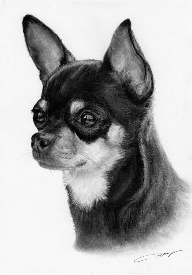 Chihuahua Drawing by Danguole Serstinskaja - Chihuahua Fine Art Prints and Posters for Sal #chihuahua Drawing by Danguole Serstinskaja - Chihuahua Fine Art Prints and Posters for Sale