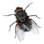 How to Get Rid of House Flies (Naturally)