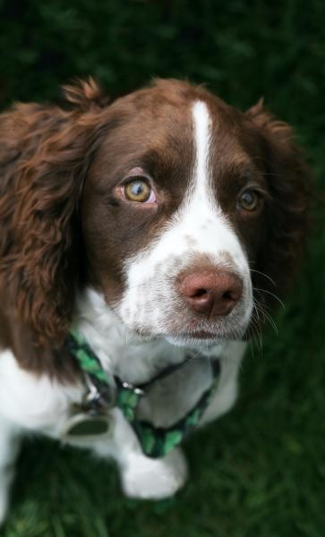 """Click visit site and Check out Cool """"English Springer Spaniel"""" T-shirts. This website is top-notch. Tip: You can search """"your name"""" or """"your favorite shirts"""" at search bar on the top."""