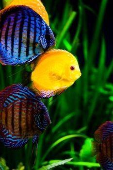 Peces disco #discusfishes #acuariofilia