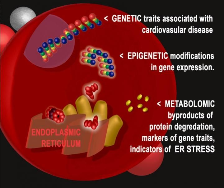Combining the investigative tools of genetics, transcriptomics, epigenetics and metabolomics, a Duke Medicine research team has identified a new molecular pathway involved in heart attacks and death from heart disease.  The researchers, publishing in the journal PLOS Genetics, found that stress on a component of cells called the endoplasmic reticulum (ER) is associated with risk of future heart events, and it can be detected in bits of molecular detritus circulating in the blood.