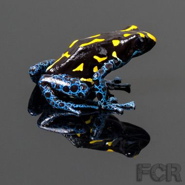 Bakhuis Tinctorius Poison Dart Frogs For Sale Right Side