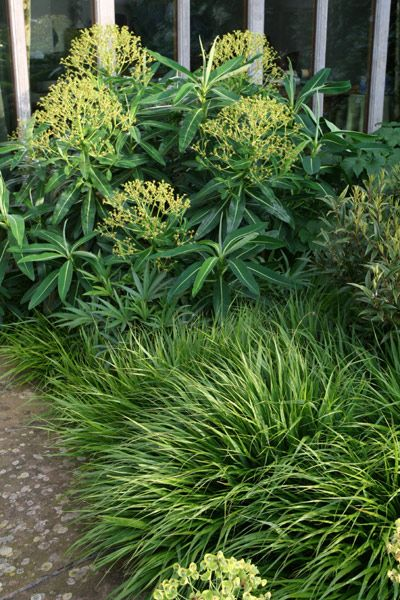 A stunning combination of Hakonechloa macra and Euphorbia x pasteurii, used in Ulf Nordfjell's Laurent-Perrier garden at Chelsea