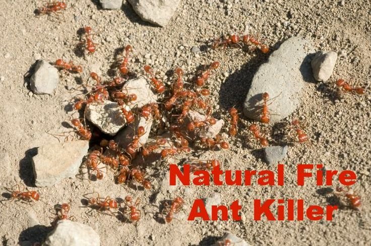 Skip the carcinogenic fire ant killer powder and granules from the store and use this cheap, completely nontoxic method that works immediately instead.