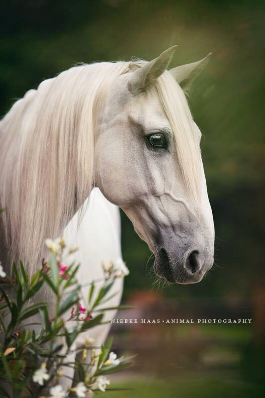 Lusitano Cami horse - by Wiebke Haas Photography