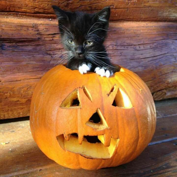 Black cat in jack-o-lantern Cat furry, Cute cats and dogs, H