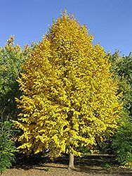 Click to view full-size photo of Harvest Gold Mongolian Linden (Tilia mongolica 'Harvest Gold') at Cannor Nurseries