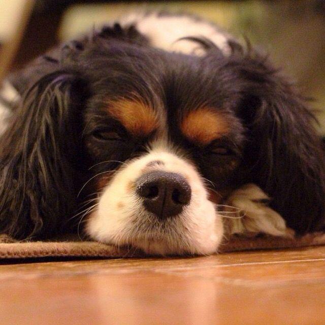 Sleppy cavalier