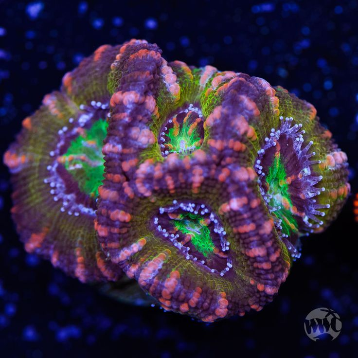 Pink Striped Acan Lord ~ WYSIWYG Live Coral Frag ~ World Wide Corals ~ #272