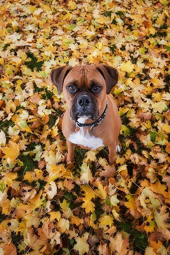 Beautiful #Boxer #dog