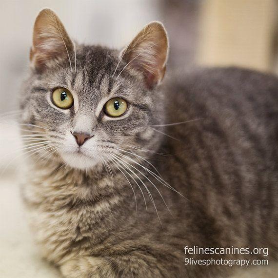 Grey Tabby Kitten Cat Shelter Charity Pet Lover by FelinesCanines,
