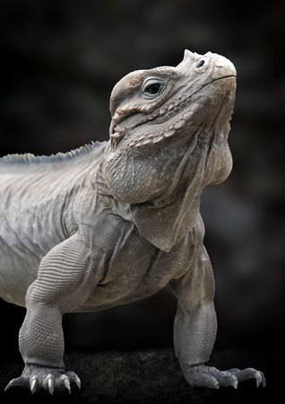 Rhinoceros iguana - The rhinoceros iguana is a threatened species of lizard in the family Iguanidae that is primarily found on the Caribbean island of Hispaniola, shared by the Republic of Haiti and the Dominican Republic.